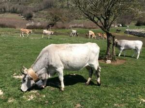 Podolica Cow, Gargano, Italy